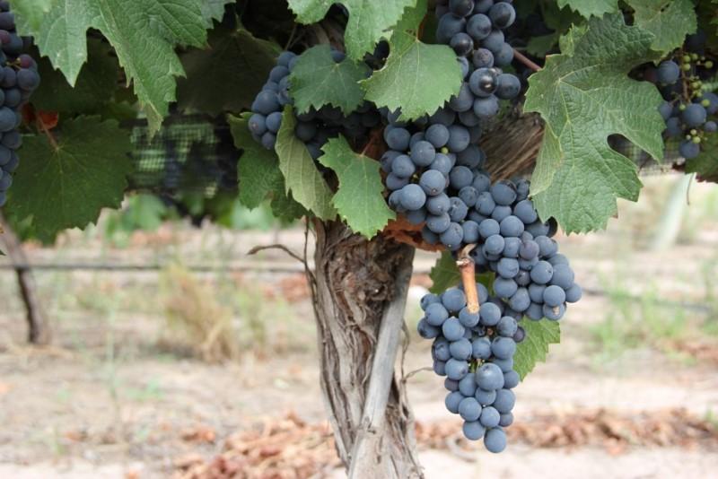 Piden eliminar restricciones a la vitivinicultura