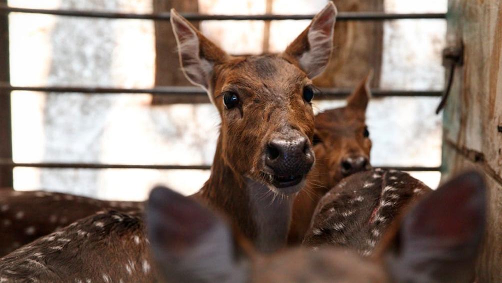 Trasladaron a un santuario natural a cinco ciervos que eran mantenidos como mascotas