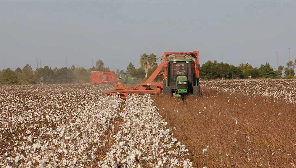 Etapa final para la cosecha algodonera en el Chaco