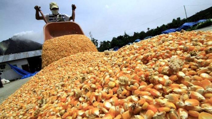 Agricultura limita las exportaciones de maíz