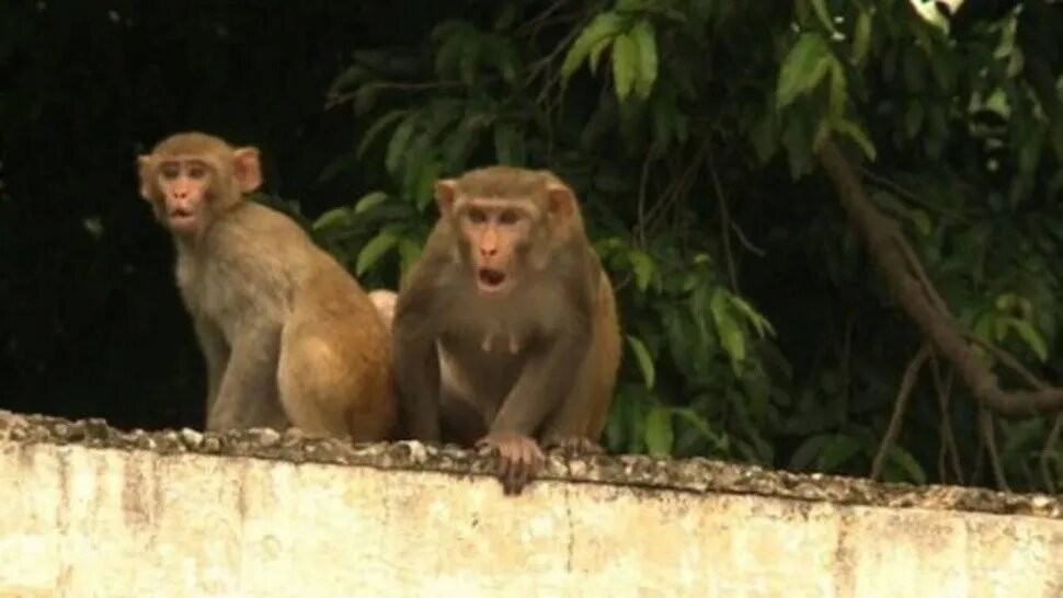 Increíble: mono mató a un hombre de un ladrillazo en la cabeza